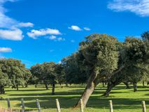 A group of cows grazin in the pasture with holm oaks and a fence and blue cloudy sky in Spain. A group of cows grazin in the pasture with holm oaks and blue Royalty Free Stock Photos