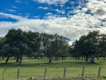 A group of cows grazin in the pasture with holm oaks and a fence and blue cloudy sky in Spain. A group of cows grazin in the pasture with holm oaks and blue Stock Photography