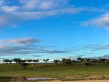 A group of cows grazin in the pasture with holm oaks and a fence and blue cloudy sky in Spain. A group of cows grazin in the pasture with holm oaks and blue Royalty Free Stock Image