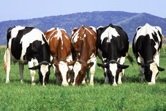 Group of cows grazing Stock Photo
