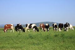 Group of cows grazing Stock Image