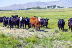 Group of cows grazing on the meadow Stock Photo