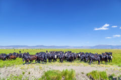Group of cows grazing Royalty Free Stock Image