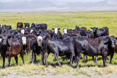 Group of cows grazing Stock Photography