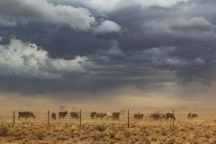 Group of cows grazing with sandstorm. Namibia, sossuvlei. Africa stock photography
