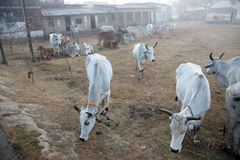 A group of cows grazing in village Kumrokhali, India Stock Photo
