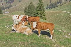 Cows in Gypsera royalty free stock photography