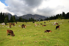 Group of cows in the high fields of the Dolomites Royalty Free Stock Photos