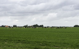 Group of cows in  Holland Royalty Free Stock Image