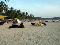 Group of cows lying on tropical beach in India with other people.  Royalty Free Stock Photos