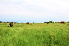 Group of cows in a meadow. Tilt shift photo Royalty Free Stock Images