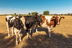 A group of cows in the midday sun. Looking for shelter from the heat in the shade waiting for the farmer Royalty Free Stock Photography