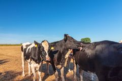 A group of cows in the midday sun. Looking for shelter from the heat in the shade waiting for the farmer Royalty Free Stock Image