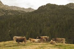 Group of cows in the mountains Royalty Free Stock Photography