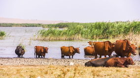 Group Of Cows Near Pond Stock Photography