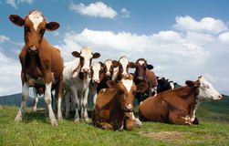 Group of cows on pasture Royalty Free Stock Photos