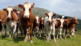 Group of cows on pasture Stock Images