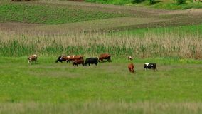 Group Of Cows On Pasture stock footage
