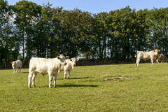 Group of cows pasturing in Devon countryside near North Bovey Royalty Free Stock Photos
