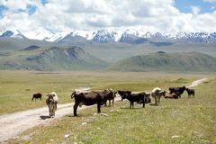 Group of cows pasturing at the road, Kirgizia. Group of cows pasturing at the road, Tien Shan, Kirgizia Royalty Free Stock Images