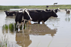 Group of cows in a pond. A group of cows is cooling of in a pond in the summer heat stock image