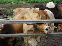 Group of cows in the ranch Royalty Free Stock Photography