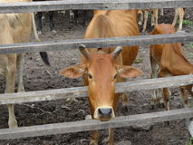 Group of cows in the ranch Stock Photo