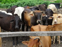 Group of cows in the ranch Stock Image