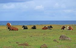 Group of cows relaxing at the seaside near Ahu Tongariki on Easter island of Chile. Beauty in Nature stock photography