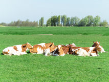Group of cows Royalty Free Stock Images