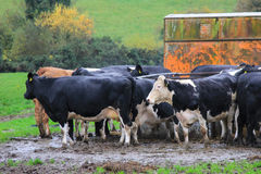 A Group of Cows Standing in Mud Royalty Free Stock Images