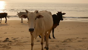 Group of cows are walking on the beach stock video footage