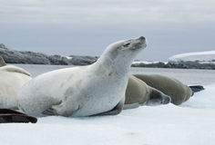 Group crabeater seals. Royalty Free Stock Photography