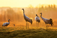 Group of crane birds in the morning on wet grass Stock Image
