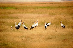Group of Cranes stock photo