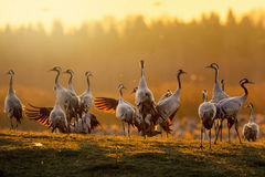 Group of cranes at sunrise in morning light Royalty Free Stock Photography