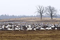 The group of cranes and whooper swans Royalty Free Stock Photo