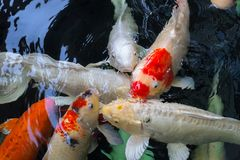 Group of Crap fish or koi fish. In the water pool Royalty Free Stock Image