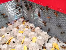 Group of Cricket Acheta domestica on egg pack in insect house royalty free stock photos