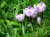 Group of croccus vernus flowers Stock Image