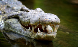Group crocodile Stock Images