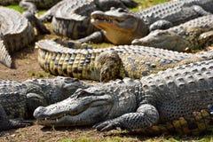 Group of crocodiles. Royalty Free Stock Image