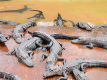 Group of crocodiles Royalty Free Stock Images