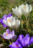 Group of crocus in spring. Close up of a group of violet crocus in a garden in march Stock Photos
