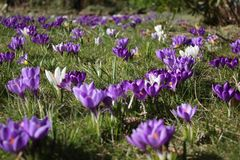 Group of crocusses in spring. Groupe of crocusses in spring in the garden Royalty Free Stock Image