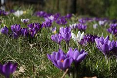 Group of crocusses in spring. Groupe of crocusses in spring in the garden Stock Photos