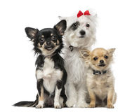 Group of Crossbreed dog and chihuahuas Stock Images