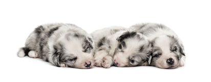 Group of crossbreed puppies sleeping isolated on white. Front view of a Group of crossbreed puppies sleeping isolated on white Stock Photos