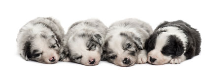 Group of crossbreed puppies sleeping isolated on white. Group of crossbreed puppies sleeping in a row isolated on white Stock Image