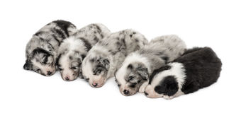 Group of crossbreed puppies sleeping isolated on white. Group of crossbreed puppies sleeping in a row isolated on white Stock Photo